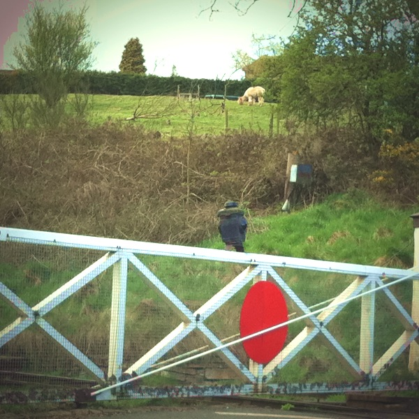 Llama spotting by the railway crossing.